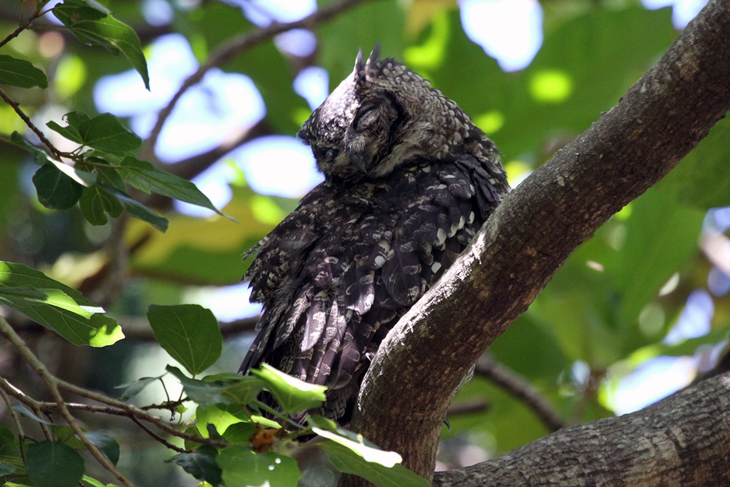 Spotted Eagle Owl / Kirstenbosch Gardens, South Africa