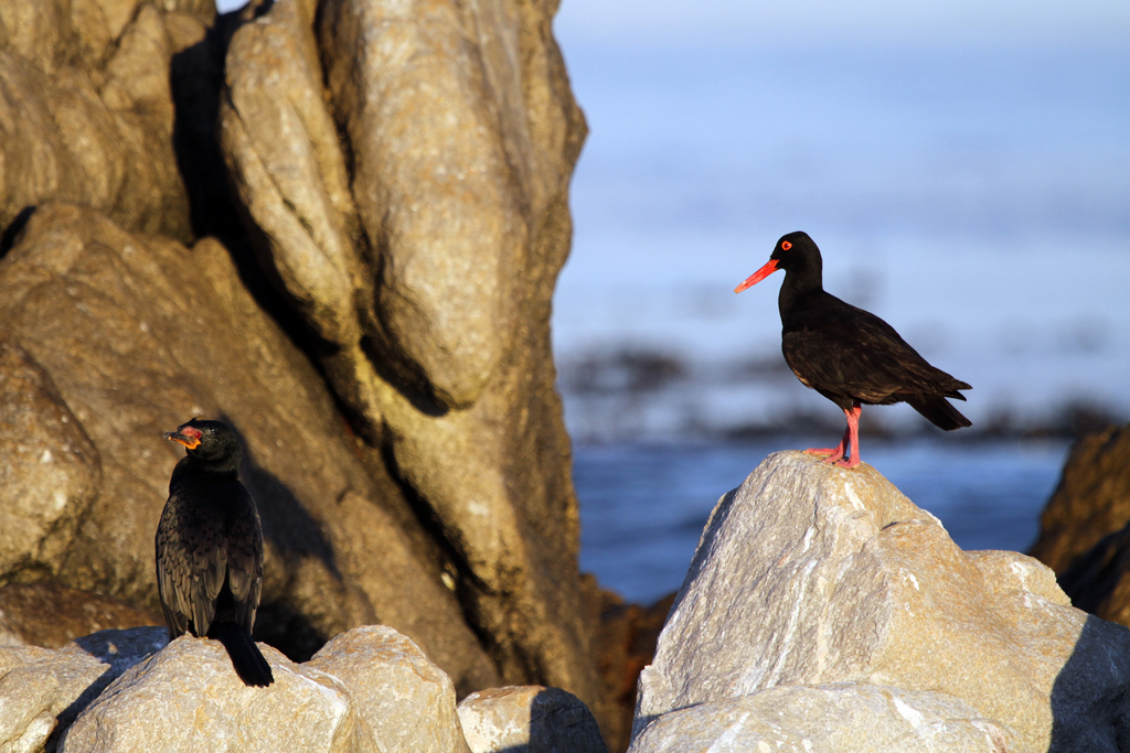 African Black Oystercatcher / Betty's Bay, South Africa