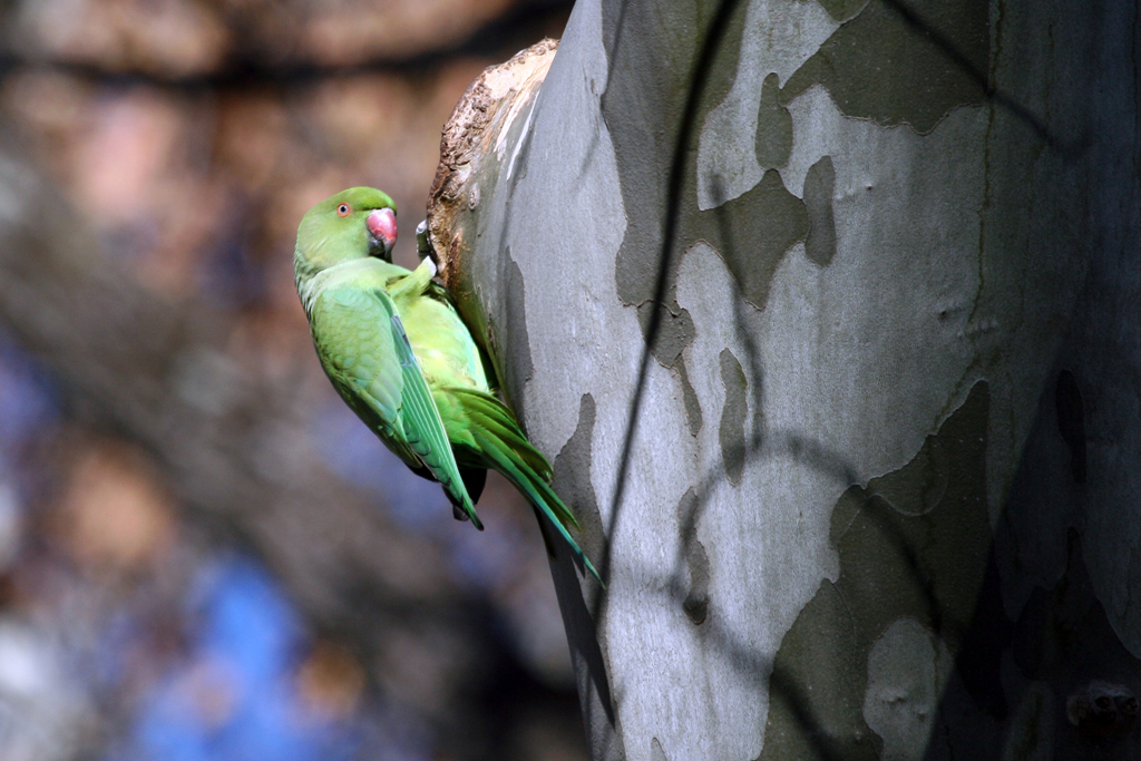 Rose-ringed Parakeet – female / Irene, Centurion, South Africa