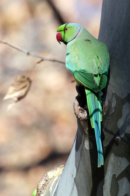 Rose-ringed Parakeet – male / Irene, Centurion, South Africa