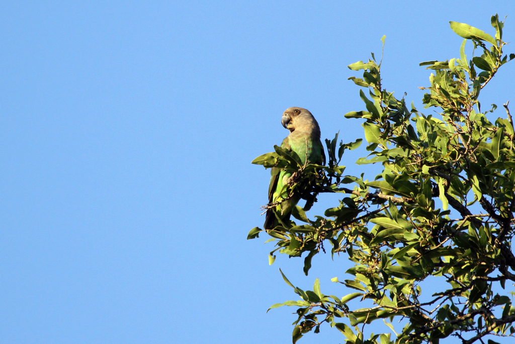 Brown-headed Parrot / Punda Maria, Northern Kruger National Park, South Africa