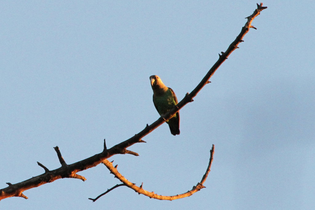 Cape Parrot / Woodbush Forest, Magoeboskloof, South Africa
