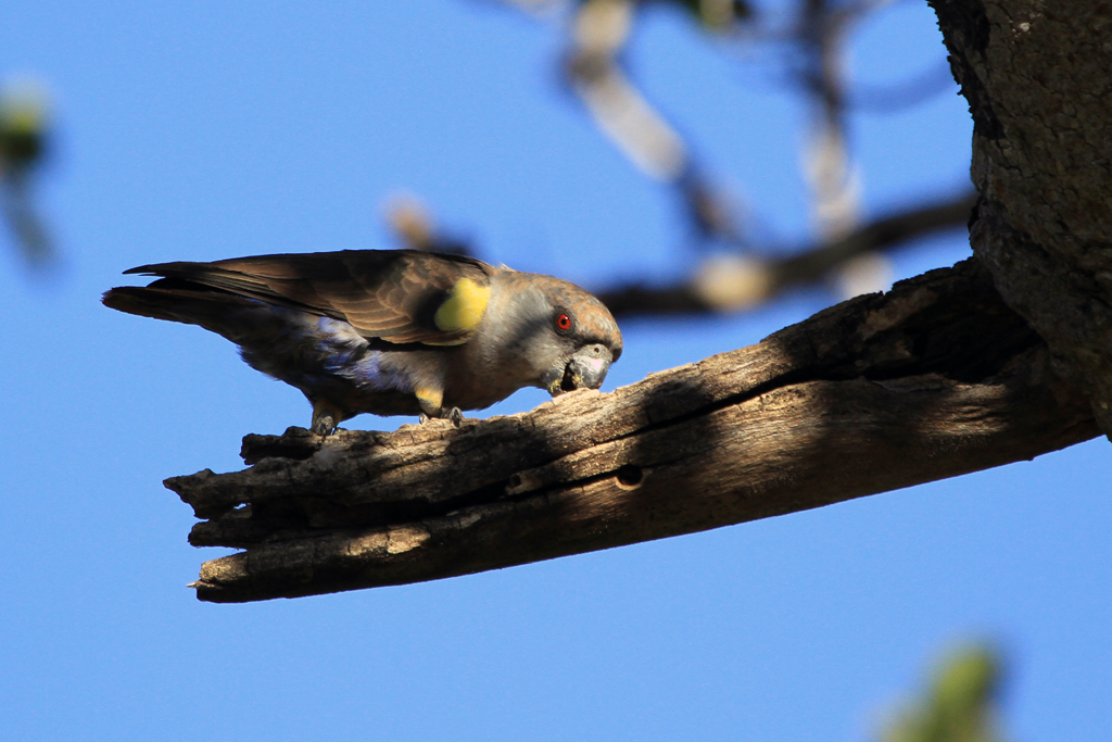 Rüppell's Parrot / Waterberg Plateau Park, Central Namibia