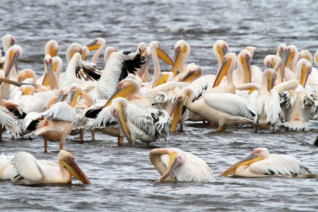 Great White Pelican / Lake Nakuru, Kenya