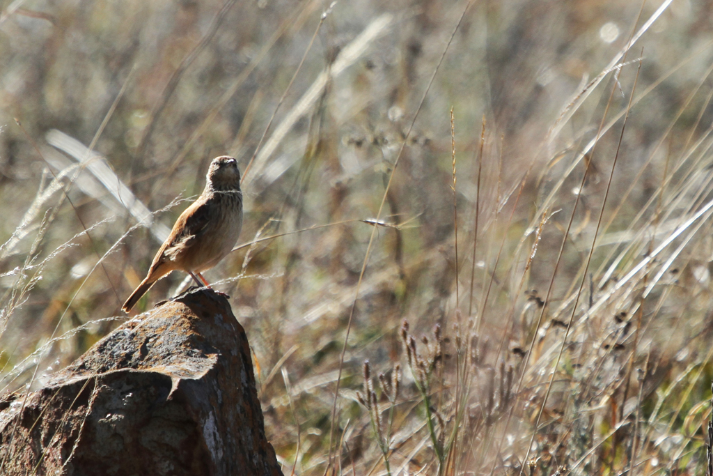 Eastern Long-billed Lark / Suikerbosrand Nature Reserve, South Africa
