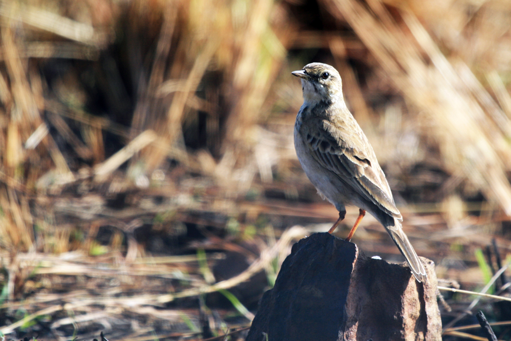 African or Grassveld Pipit (Rufuloides) / Rietvlei Nature Reserve, South Africa