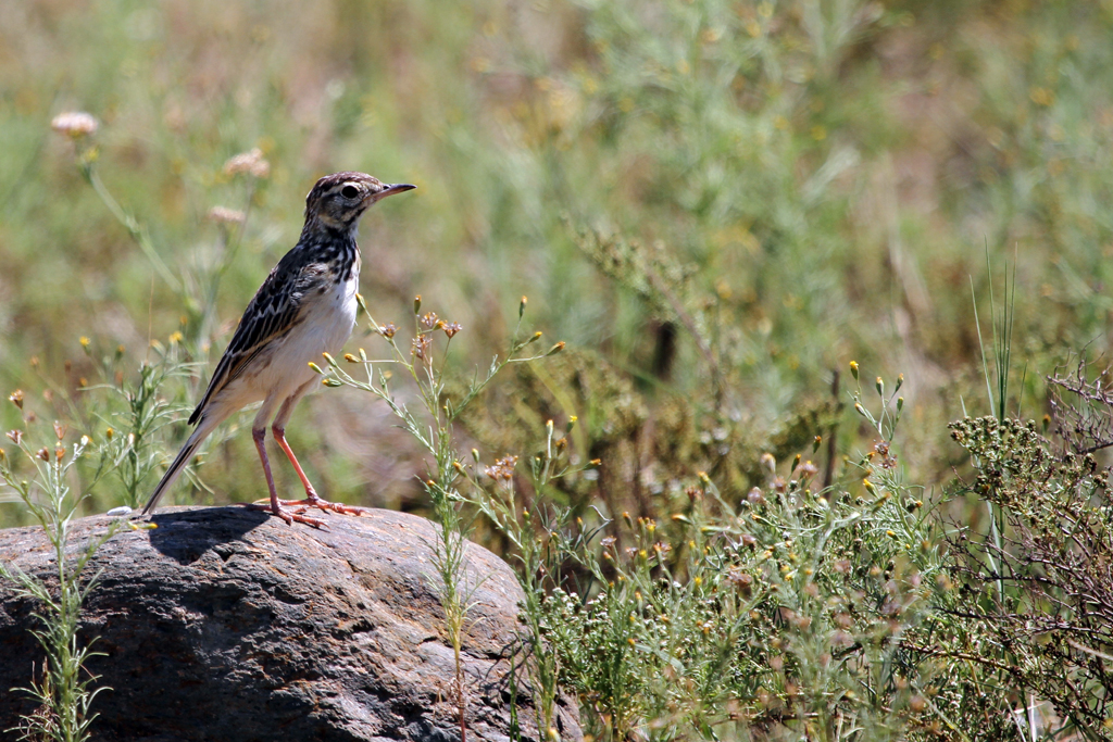 African or Grassveld Pipit (Spurium) / Pilansberg Nature Reserve, South Africa