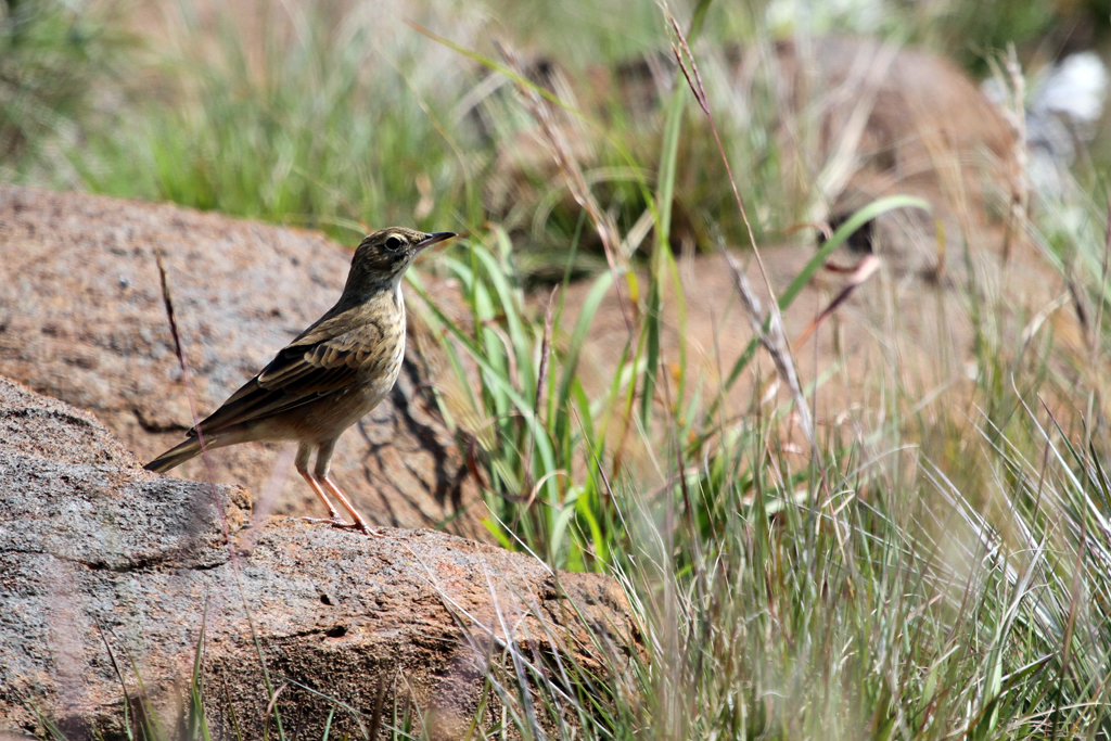 Long-billed Pipit / Magoebaskloof, South Africa