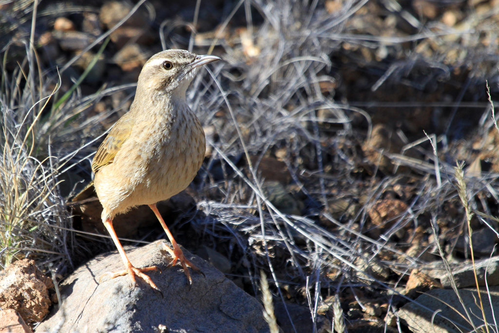 Plain-backed Pipit / Karoo National Park, South Africa