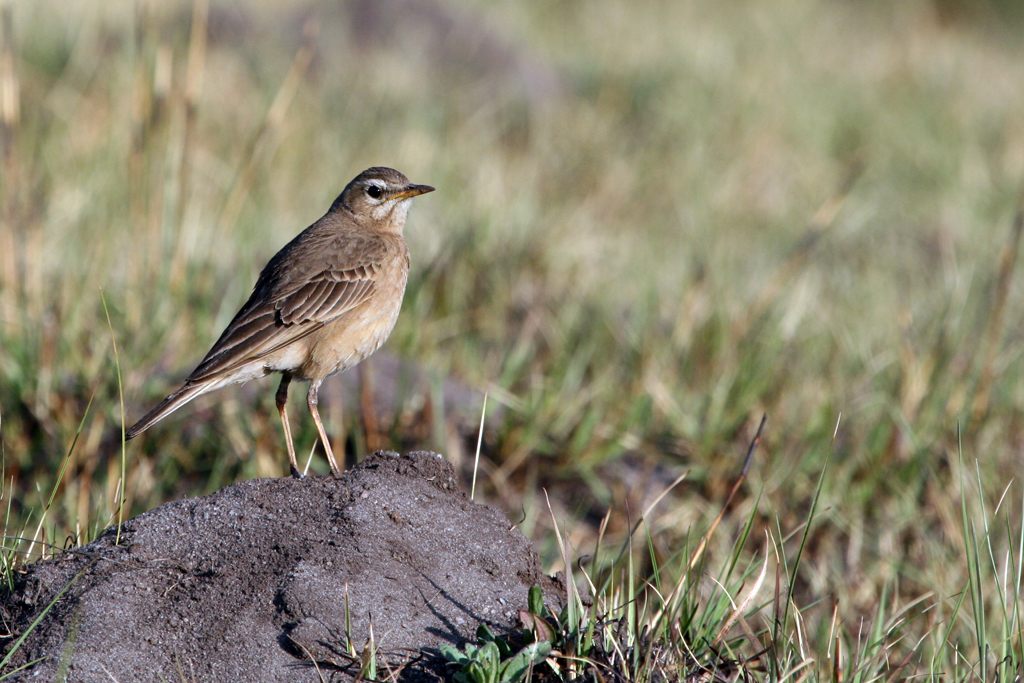 Plain-backed Pipit (Leucophrys) / Kaapsehoop, South Africa