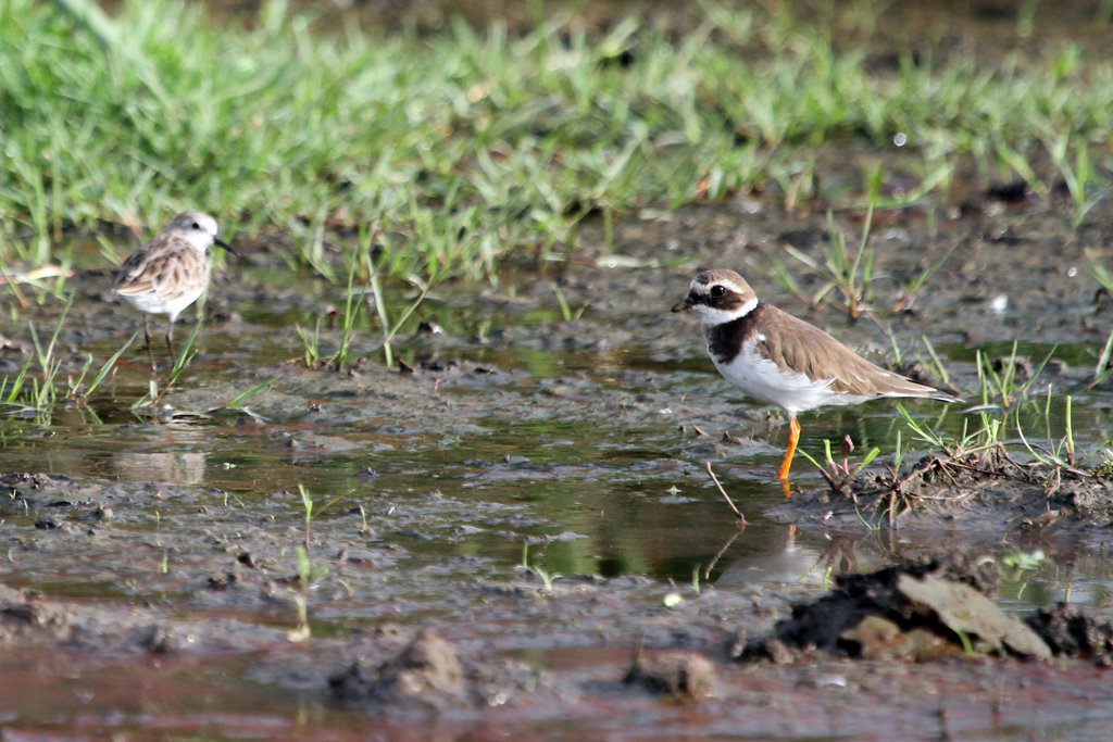Common Ringed Plover / Mkhombo Dam Nature Reserve, South Africa