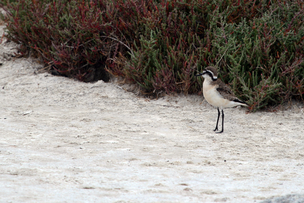 Kittlitz's Plover / West Coast National Park, South Africa