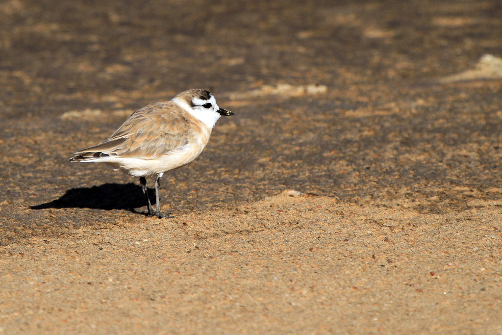 White-fronted Plover / Walvis Bay, Namibia / 10 July 2012