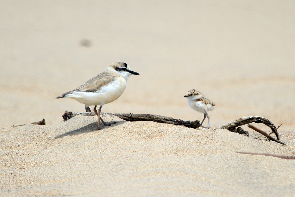 White-fronted Plover / Illovo River Estuary, South Coast, KZN, South Africa / 16 November 2012