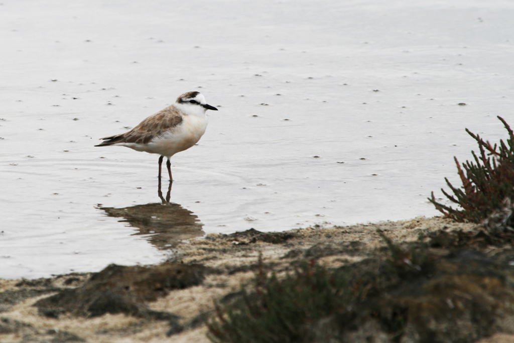 White-fronted Plover / West Coast National Park, South Africa / 20 November 2010