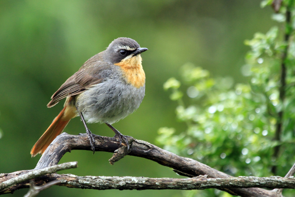 Cape Robin-chat / Thendele, Northern Drakensberg, South Africa