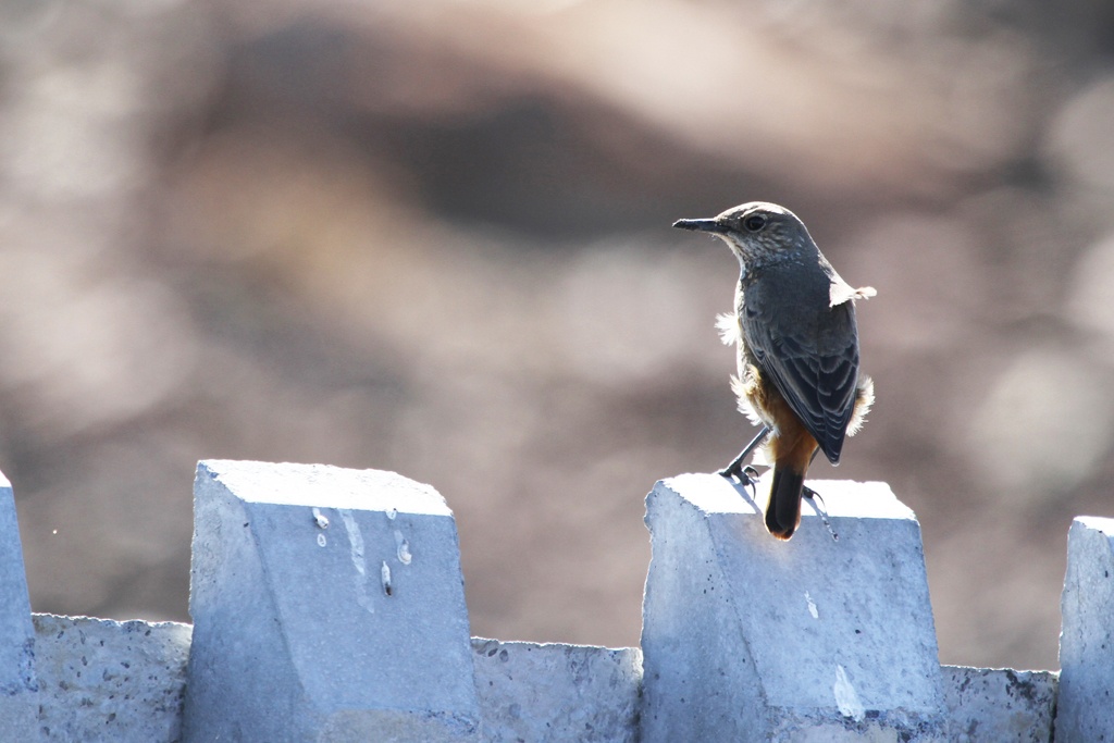 Sentinel Rock-thrush – female / Eendracht, Suikerbosrand, South Africa / 29 July 2012