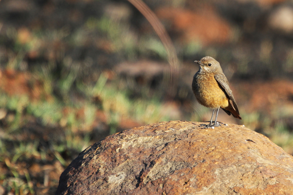 Sentinel Rock-thrush – female / Eendracht, Suikerbosrand, South Africa / 12 August 2011