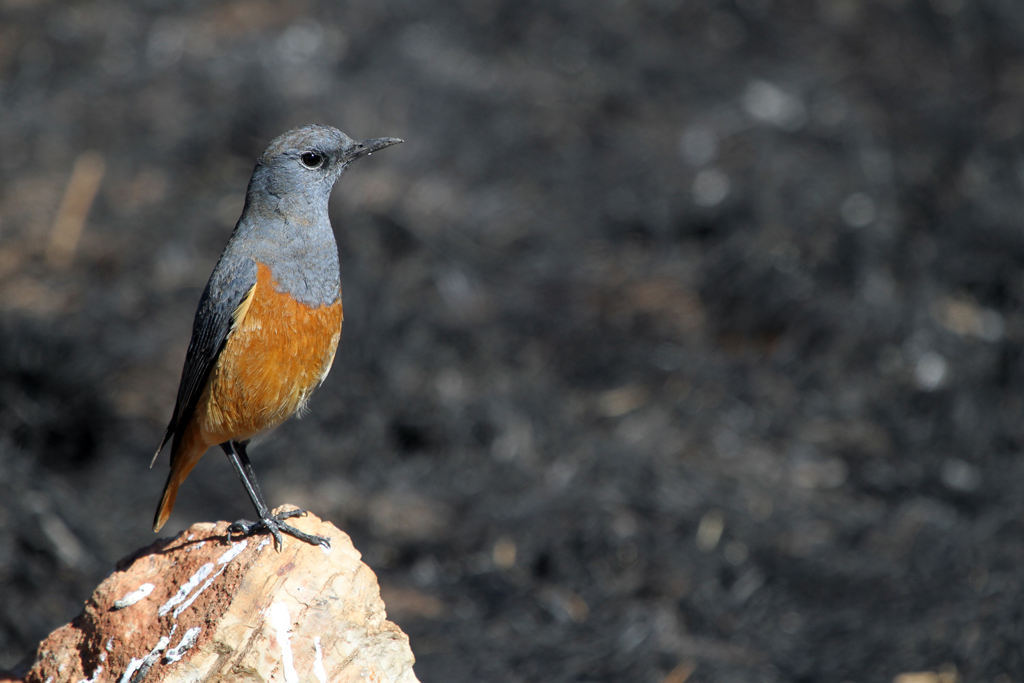 Sentinel Rock-thrush – male / Eendracht, Suikerbosrand, South Africa / 29 July 2012