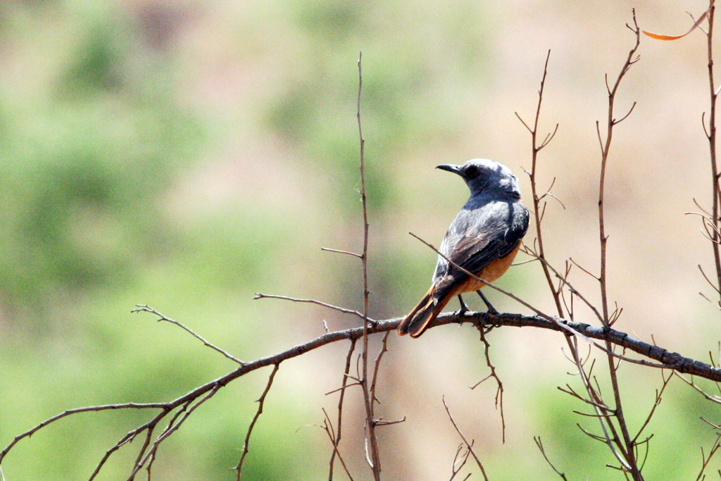 Short-toed Rock-thrush / Pilansberg Nature Reserve, South Africa