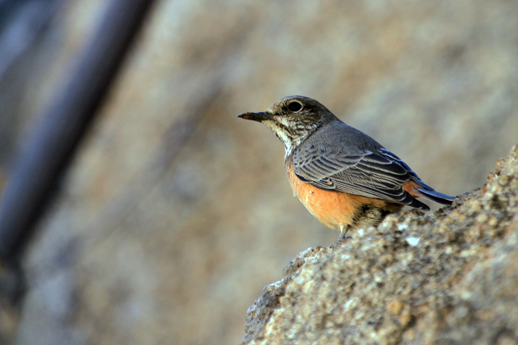 Short-toed Rock-thrush / Erongo Wilderness Camp, Central Namibia