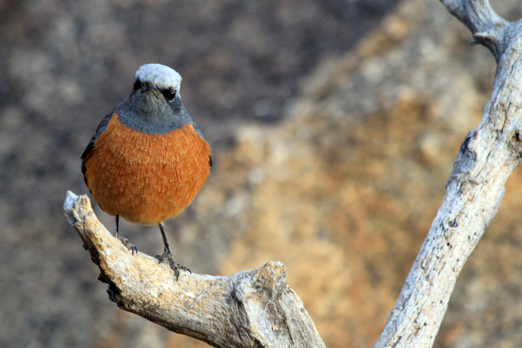 Short-toed Rock-thrush – male / Erongo Wilderness Camp, Central Namibia