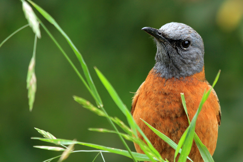 Cape Rock-thrush / Thendele, Northern Drakensberg, South Africa