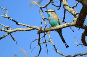 Racket-tailed Roller / Shamvura, Northern Namibia