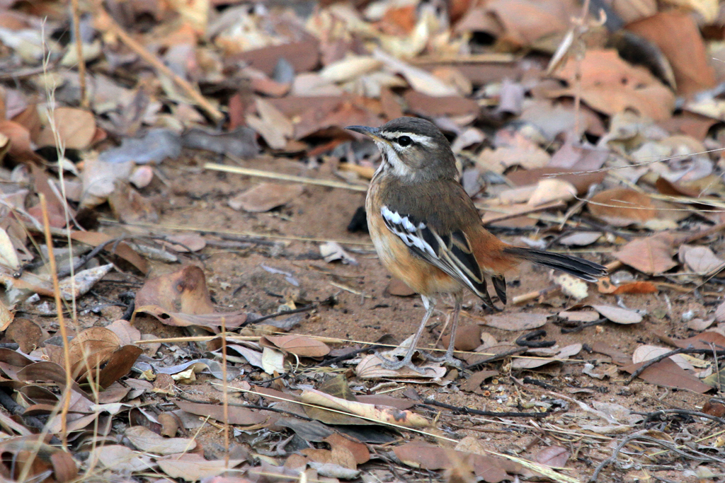 White-browed Scrub-robin (Ovamboensis) / Waterberg Plateau Park, Central Namibia