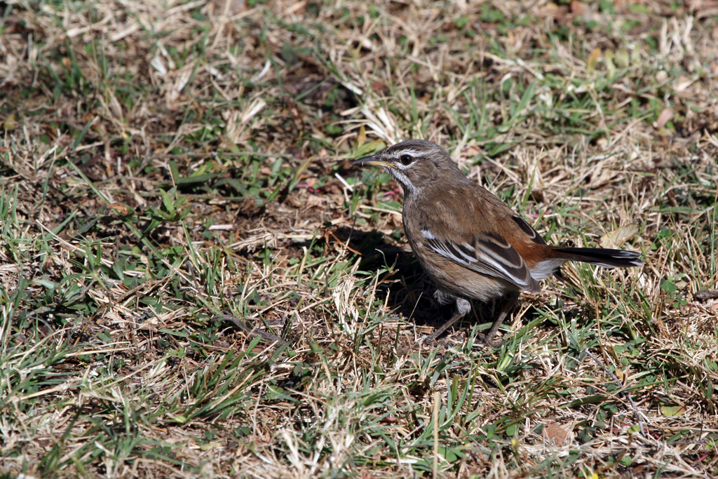 White-browed Scrub-robin (Pectoralis) / Roodeplaat Nature Reserve, South Africa
