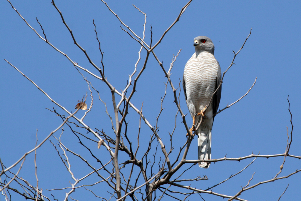 Shikra or Little-banded Goshawk / Rust de Winter, South Africa