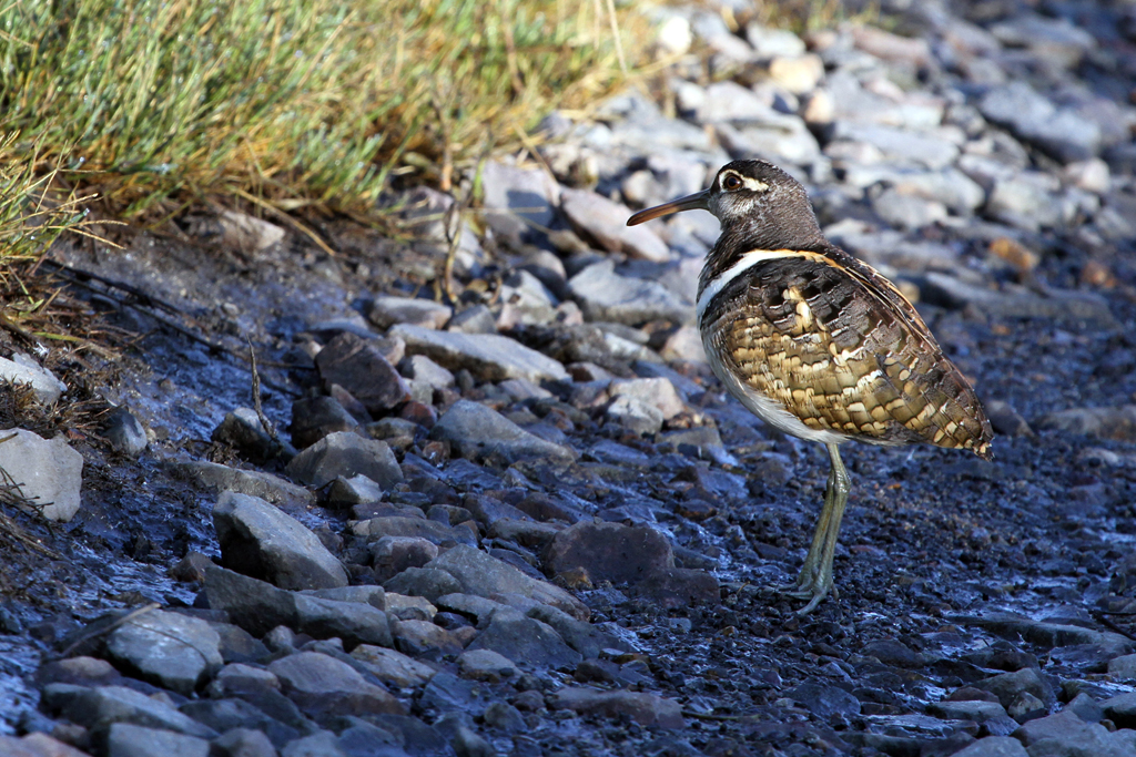Greater Painted Snipe – male / Marievale Bird Sanctuary, South Africa / 04 January 2012