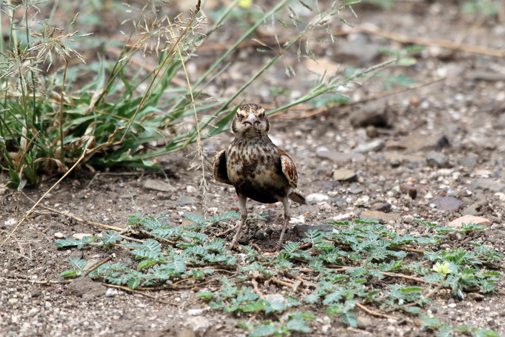 Chestnut-backed Sparrow-lark – female / Southern Kruger National Park, South Africa