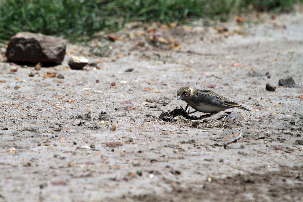 Fischer's Sparrow-lark – female / El Karama, Nanyuki, South Africa