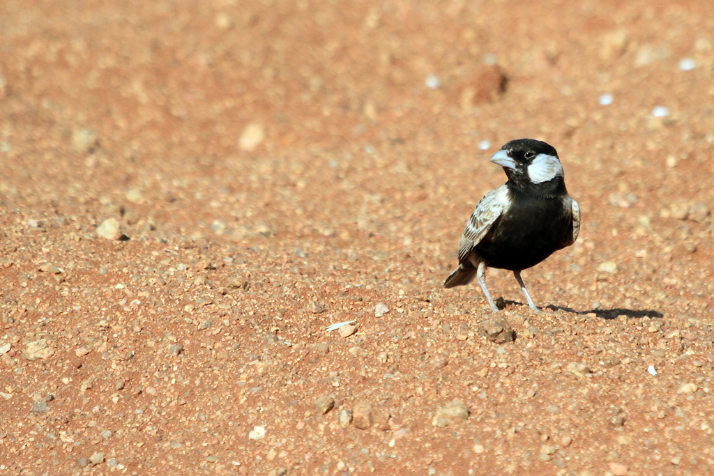 Grey-backed Sparrow-lark – male / Aus, Southern Namibia