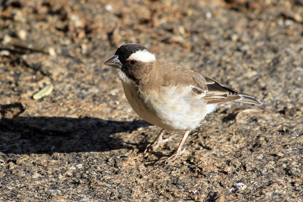 White-browed Sparrow-weaver /  Erongo Wilderness Camp, Central Namibia