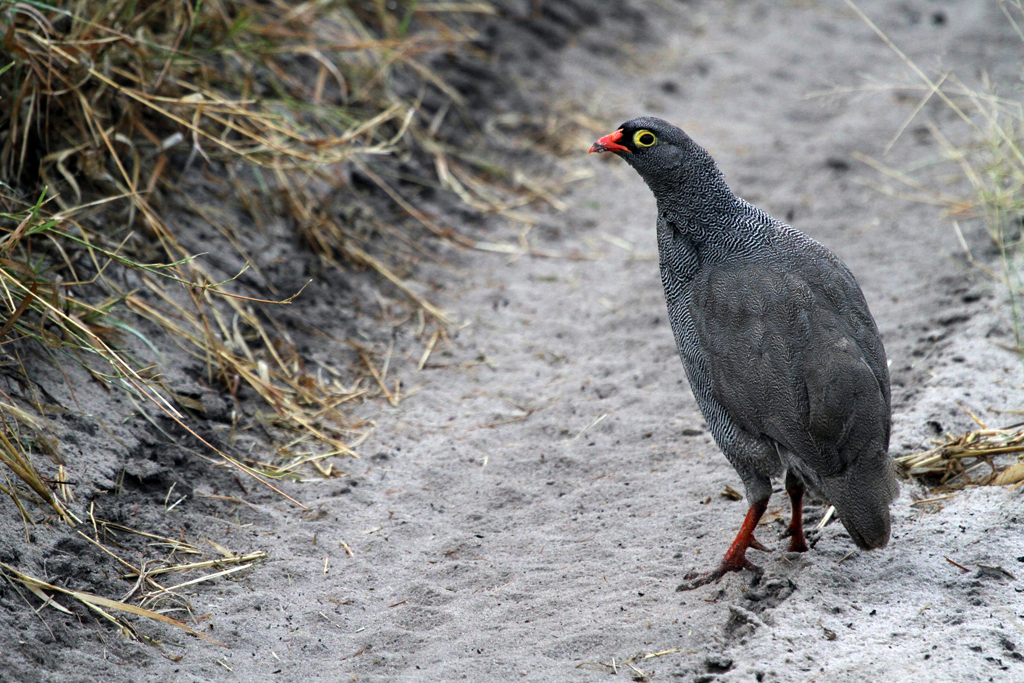 Red-billed Spurfowl / Nxai Pan, Botswana