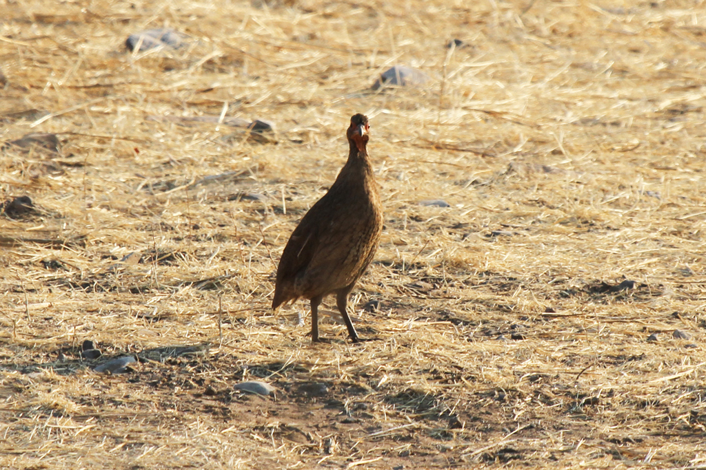 Swainson's Spurfowl (Damarensis) / Etosha National Park, Northern Namibia