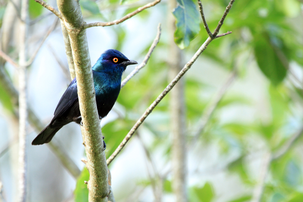 Black-bellied Starling / Ocean View, South Coast, KZN, South Africa