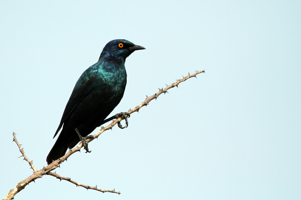 Cape Glossy Starling / Zaagkuildrift to Kgomo Kgomo, South Africa / 24 February 2012