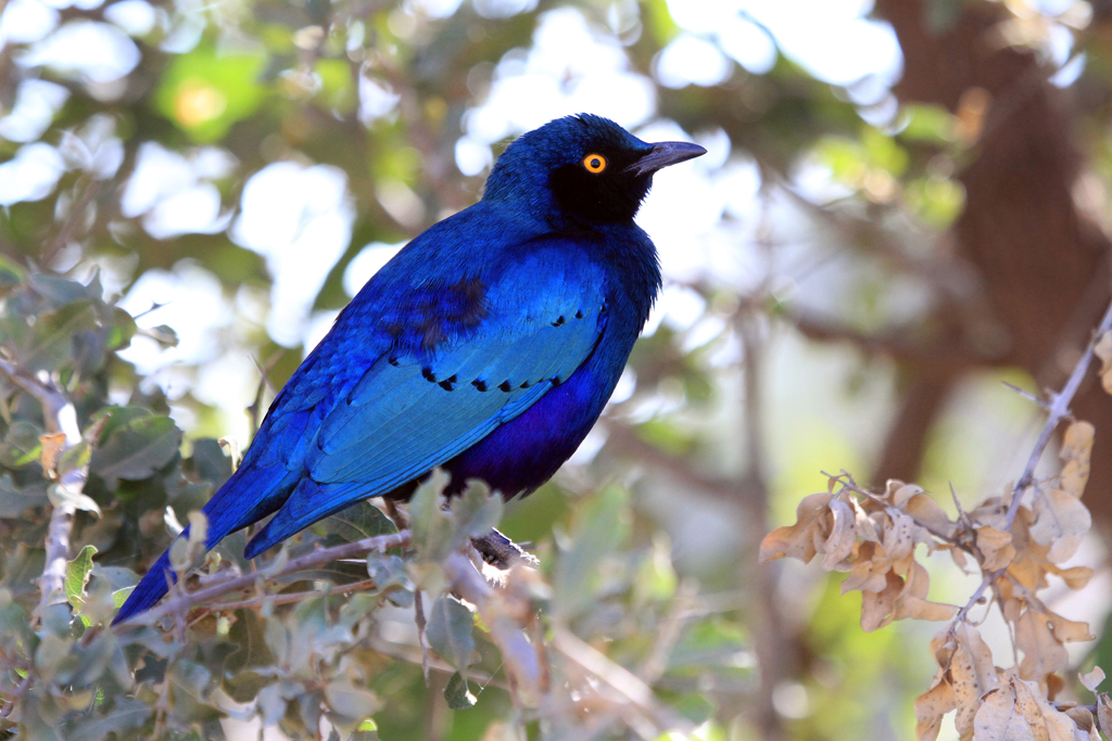 Greater Blue-eared Starling / Northern Kruger National Park, South Africa