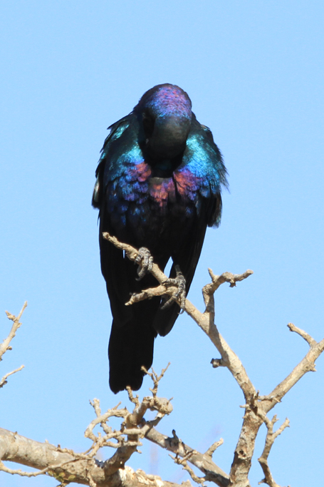 Meves's Starling (Mevesii) / Pafuri, Northern Kruger National Park, South Africa