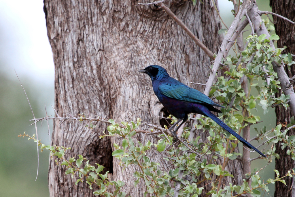 Meves's Starling / Pafuri, Northern Kruger National Park, South Africa