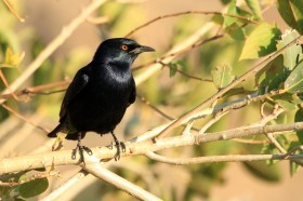 Pale-winged Starling / Erongo Wilderness Camp, Central Namibia