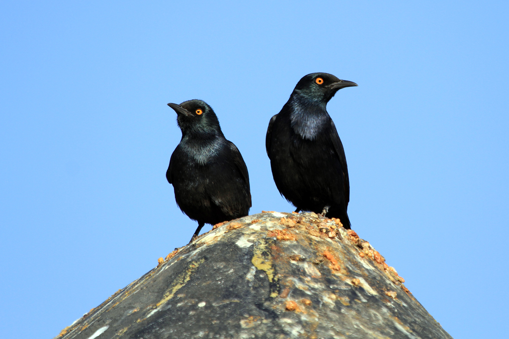 Pale-winged Starling / Grootberg, Northern Namibia
