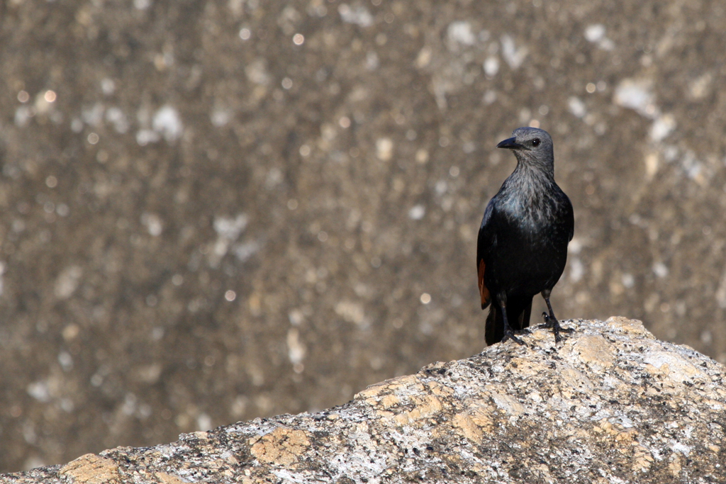 Red-winged Starling / Llandudno, South Africa / 17 July 2010