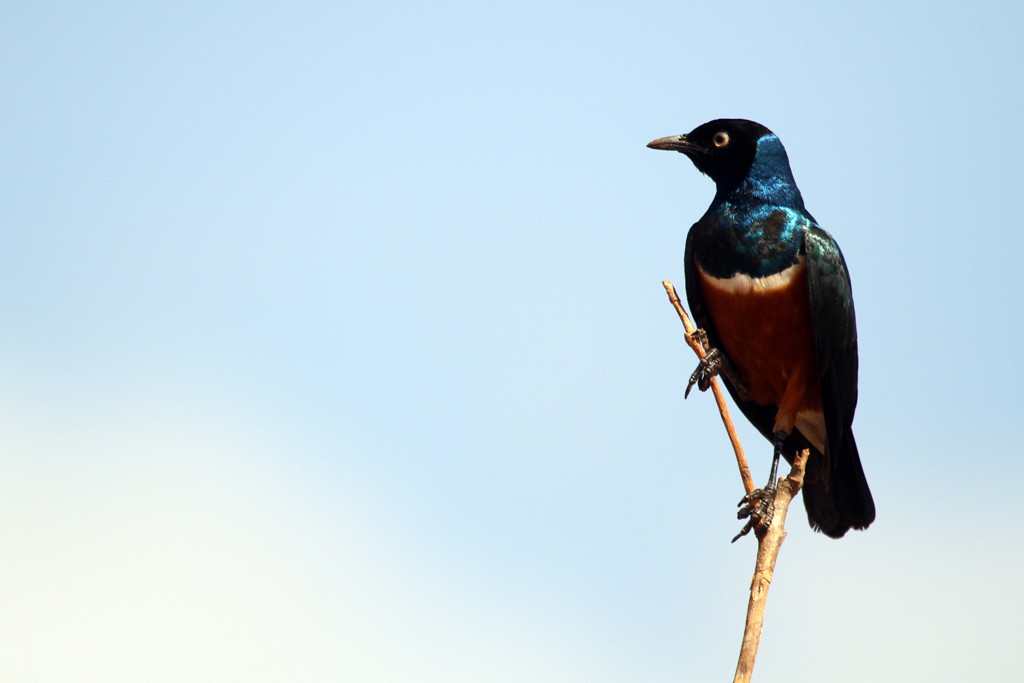 Superb Starling / Nanyuki, Kenya