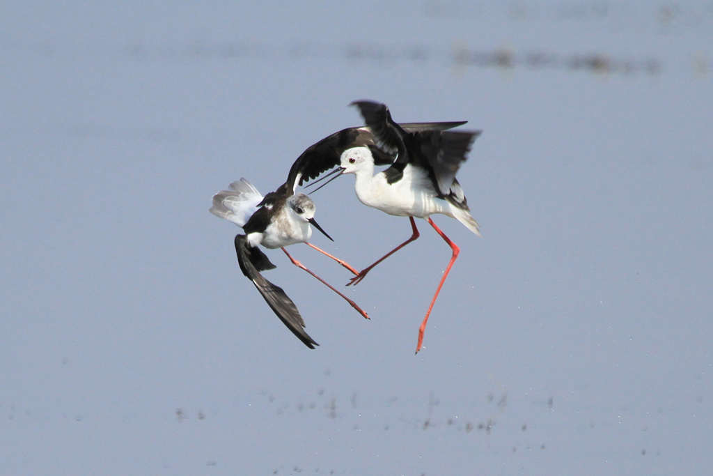 Black-winged Stilt / Mkhombo Dam Nature Reserve, South Africa / 05 October 2012
