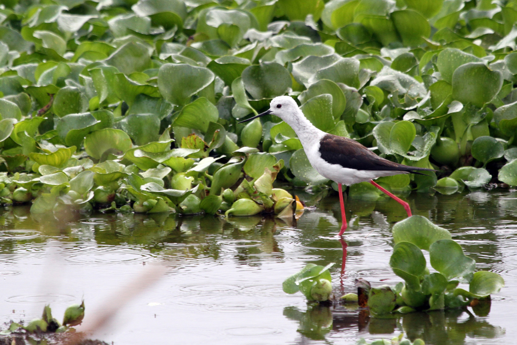 Black-winged Stilt / Strandfontein Sewage Works, South Africa / 12 November 2011