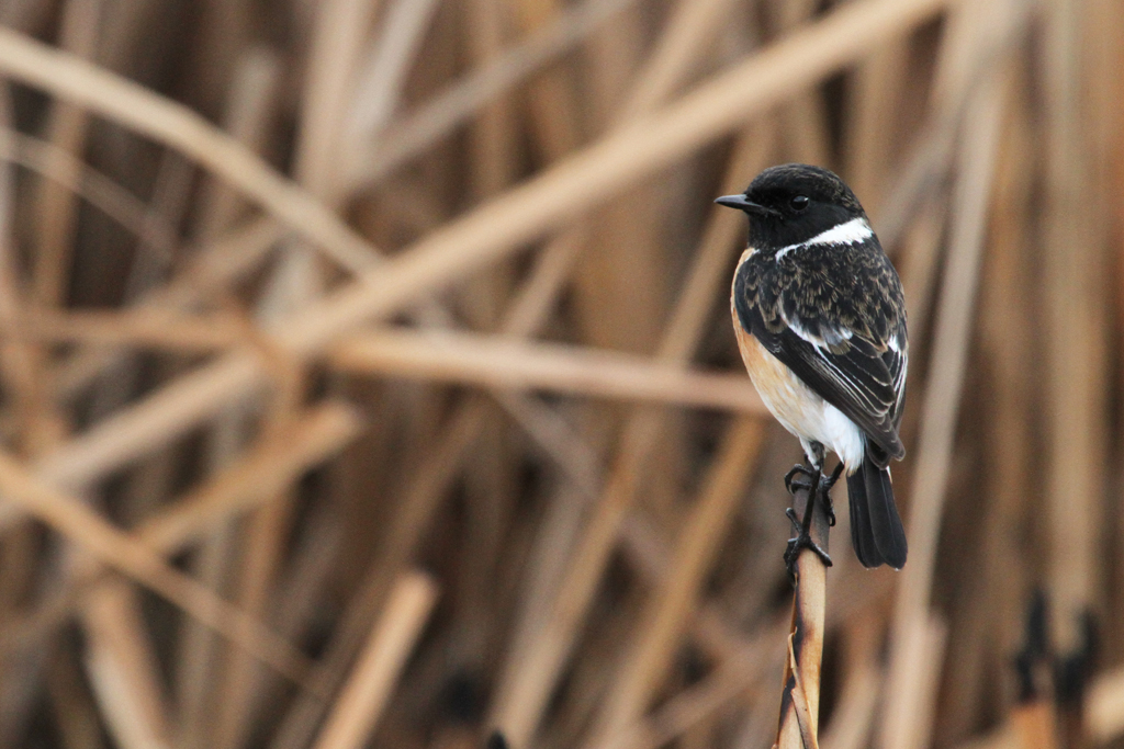 African or Common Stonechat / Marievale Bird Sanctuary, South Africa